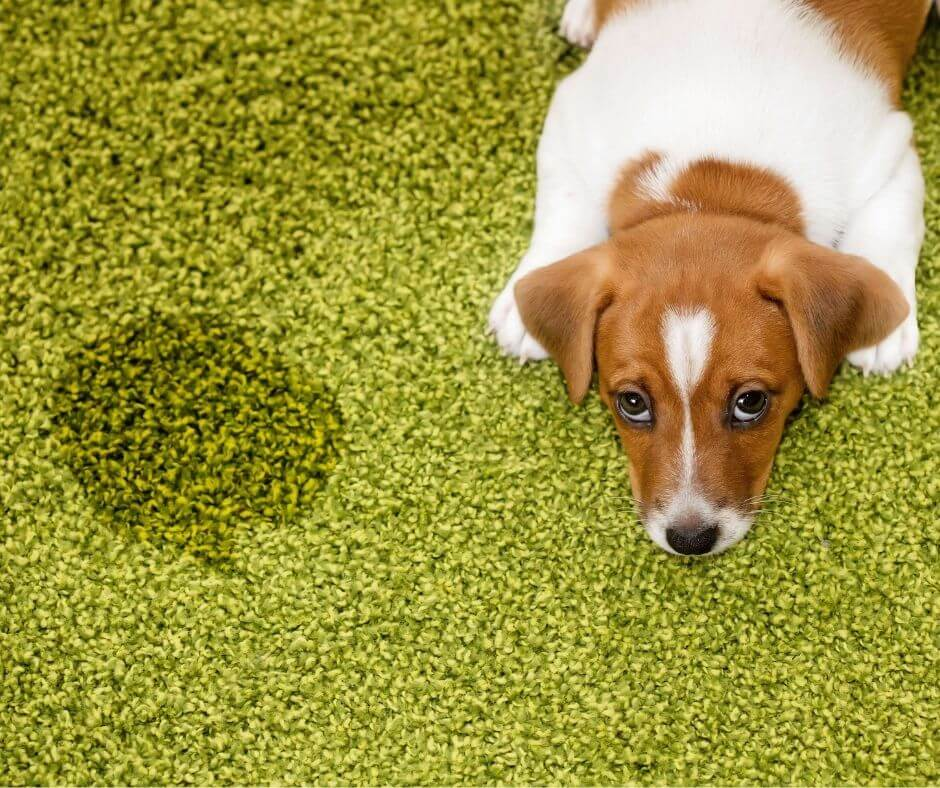 puppy laying on green rug next to urine stain